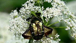 Slow motion clip of a European rose chafer (Cetonia aurata) taking off from an Umbellifer flower (Apiaceae) flowers, Germany, June.  -  Konrad  Wothe