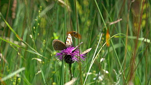 Slow motion clip of group of Ringlets (Aphantopus hyperantus) resting on a Knapweed (Centaurea) flower alongside a False heath fritillary (Melitaea diamina), disturbed by another butterfly, Bavaria, G...  -  Konrad  Wothe