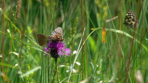 Slow motion clip of Ringlet butterfly  (Aphantopus hyperantus) nectaring on a Knapweed (Centaurea) flower alongside a False heath fritillary (Melitaea diamina),and a Marbled white (Melanargia galathea...  -  Konrad  Wothe