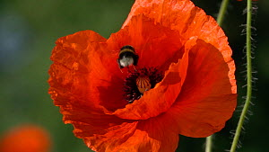 Slow motion clip of a Buff tailed bumblebee (Bombus terrestris) feeding from a Common poppy (Papaver rhoeas) flower, Germany, June.  -  Konrad  Wothe