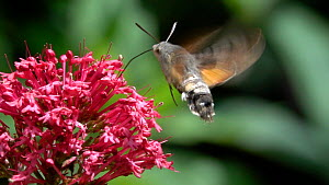 Slow motion clip of a Hummingbird hawkmoth (Macroglossum stellatarum) on Red valerian (Centranthus ruber), Bavaria, Germany, June. - Konrad  Wothe