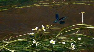 Slow motion clip of a male Banded demoiselle (Calopteryx splendens) on River water-crowfoot (Ranunculus fluitans), Bavaria, Germany, June. - Konrad  Wothe