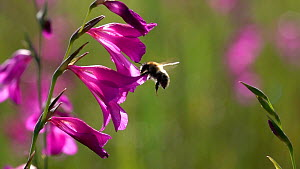 Slow motion clip of a Bumblebee (Bombus) nectaring on a Marsh gladiolus (Gladiolus palustris), with a Bee fly (Bombyliidae) flying nearby, Bavaria, Germany, July.  -  Konrad  Wothe