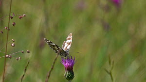 Slow motion clip of a Marbled white butterfly (Melanargia galathea) nectaring on a Knapweed (Centaurea) flower, with a Blue butterfly (Lycaenidae) flying past, Bavaria, Germany, July  -  Konrad  Wothe