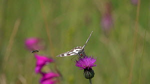 Slow motion clip of a Marbled white (Melanargia galathea) nectaring on a Knapweed (Centaurea) flower, with a Honeybee (Apis) flying past, Bavaria, Germany, July  -  Konrad  Wothe