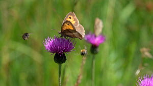 Slow motion clip of  a Meadow brown (Maniola jurtina) nectaring on a Knapweed (Centaurea) flower, with Bumblebees (Bombus), Bavaria, Germany, July. - Konrad  Wothe