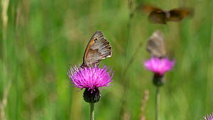 Slow motion clip of Meadow browns (Maniola jurtina) nectaring and interacting on a Knapweed (Centaurea) flower, Bavaria, Germany, July. - Konrad  Wothe