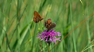 Slow motion clip of Ringlet butterfly (Aphantopus hyperantus) nectaring on a Knapweed (Centaurea) flower with a False heath fritillary (Melitaea diamina), disturbed by another (Melitaea), Bavaria, Ger...  -  Konrad  Wothe