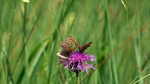 Slow motion clip of male False heath fritillary  butterflies (Melitaea diamina) on a Knapweed (Centaurea) flower, disturbing a Ringlet (Aphantopus hyperantus), Bavaria, Germany, July.  -  Konrad  Wothe