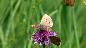 Slow motion clip of Ringlet (Aphantopus hyperantus) nectaring on a Knapweed (Centaurea) flower with a Fritillary (Melitaea), distrubed by another, Bavaria, Germany, July.  -  Konrad  Wothe
