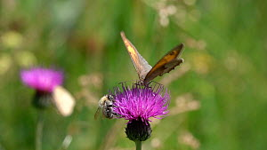Slow motion clip of a Meadow brown butterfly  (Maniola jurtina) nectaring on a Knapweed (Centaurea) flower with a Bumblebee (Bombus), Bavaria, Germany, July.  -  Konrad  Wothe