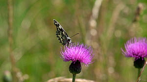 Slow motion clip of a Marbled white butterfly (Melanargia galathea) chasing a Meadow brown (Maniola jurtina) from a Knapweed (Centaurea) flower, Bavaria, Germany, July.  -  Konrad  Wothe