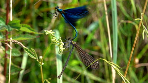 Slow motion clip of Beautiful demoiselles (Calopteryx virgo) mating on Meadowsweet (Filipendula ulmaria), Bavaria, Germany, July. - Konrad  Wothe