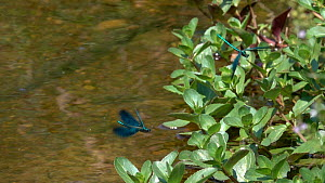 Slow motion clip of three male Beautiful demoiselles (Calopteryx virgo) flying over a rivulet, Bavaria, Germany, July. - Konrad  Wothe