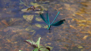 Slow motion clip of a male Beautiful demoiselle (Calopteryx virgo) hovering, Bavaria, Germany, July. - Konrad  Wothe