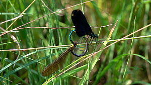 Slow motion clip of a pair of Beautiful demoiselles (Calopteryx virgo) mating and laying eggs, before taking off, Bavaria, Germany, July. - Konrad  Wothe