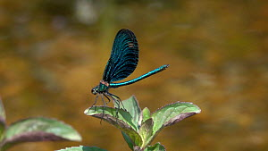 Slow motion clip of a male Beautiful demoiselle (Calopteryx virgo) landing on Mint (Mentha) flower, Bavaria, Germany,  July. - Konrad  Wothe