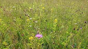 Tracking shot looking over a meadow, with Great burnet (Sanguisorba officinalis) and Garden loosestrife (Lysimachia vulgaris) in flower, Bavaria, Germany, July.  -  Konrad  Wothe