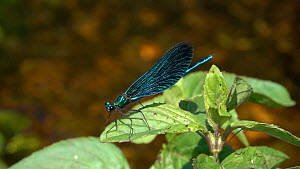 Slow motion clip of a male Beautiful demoiselle (Calopteryx virgo) opening its wings, Bavaria, Germany, July. - Konrad  Wothe