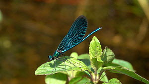 Slow motion clip of a male Beautiful demoiselle (Calopteryx virgo) landing on Mint (Mentha), Bavaria, Germany, July. - Konrad  Wothe