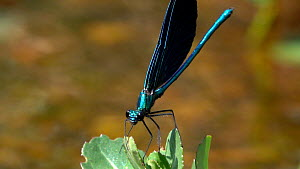 Wide angle shot of a male Beautiful demoiselle (Calopteryx virgo) on European speedwell (Veronica beccabunga), takes off and flies away, Bavaria, Germany, July. - Konrad  Wothe