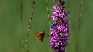 Slow motion clip of a Blue butterfly (Lycaenidae) flying and nectaring on Purple loosestrife (Lythrum salicaria), disturbed by a Skipper (Thymelicus), Bavaria, Germany, July. - Konrad  Wothe