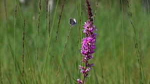 Slow motion clip of a Blue butterfly (Lycaenidae) flying and nectaring on Purple loosestrife (Lythrum salicaria), Bavaria, Germany, July. - Konrad  Wothe