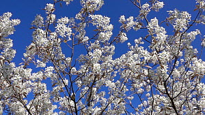 Serviceberry tree (Amelanchier ovalis) in blossom, moving in the wind, Bavaria, Germany, April.  -  Konrad  Wothe