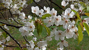 Tracking shot approaching a Sweet cherry tree (Prunus avium) in blossom, Bavaria, Germany, April.  -  Konrad  Wothe