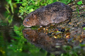 Water vole (Arvicola terrestris) drinking. Dorset, England, UK. June.  -  Colin Varndell