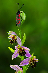 Bee orchid (Ophrys apifera) with Six-spot burnet moth (Zygaena filipendulae) Dorset, UK June 2018  -  Colin Varndell