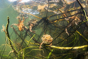 Common toads (Bufo bufo) mating and egg laying in lake, Ain, Alps, France, April.  -  Remi Masson