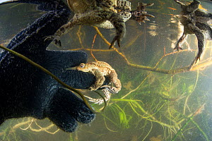 Common toad (Bufo bufo) trying to mate with the glove of a diver during the mating season in spring. Ain, Alps, France, April.  -  Remi Masson