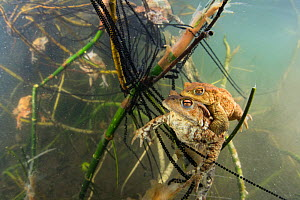Underwater view of Common toad (Bufo bufo) pair mating and egg laying at the bottom of lake, Ain, Alps, France, April.  -  Remi Masson
