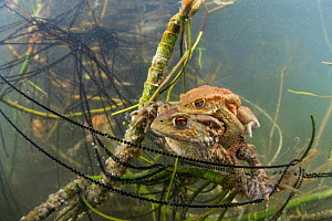 Underwater view of Common toad (Bufo bufo) pair mating and egg laying at the bottom of a lake. Ain, Alps, France, April.  -  Remi Masson