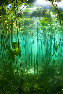 School of Perch (Perca fluviatilis) amongst Water lilies (Nuphar lutea) lit by the sun's rays, Lake Bourget, Alps, Savoie, France, June. - Remi Masson