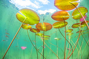 Underwater view of Waterlilies (Nymphaea alba) in a lake. Alps, Ain, France, June.  -  Remi Masson