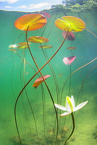 Waterlily (Nymphaea alba) flower which has opened underwater in a lake. Alps, Ain, France, June.  -  Remi Masson