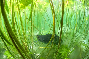 Wels catfish (Silurus glanis) amongst waterlilies. Lake of Paladru, Alps, Isere, France. June.  -  Remi Masson