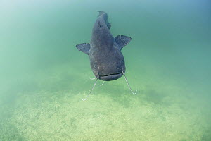Wels catfish (Silurus glanis) swimming in the river Rhone, France.  -  Remi Masson