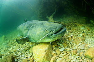 Giant wels catfish (Silurus glanis) sitting on the bottom of a river. Rio Ebro, Spain.  -  Remi Masson