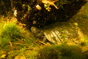 European pond turtle (Emys orbicularis) underwater on the bottom of a pond. Isere, Cremieu, France, April.  -  Remi Masson