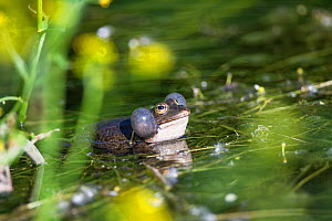 Edible frog (Pelophylax kl. esculentus) singing in a pond, in spring. Isere, Cremieu, France, April.  -  Remi Masson
