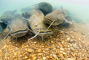 Group of Wels catfish (Silurus glanis) gathering on the bottom of the River Rhone, France. June.  -  Remi Masson