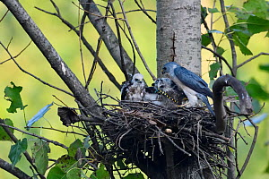Chinese Sparrowhawk (Accipiter soloensis) sitting in a nest feeding three chicks with dragonfly prey, Guangshui, Hubei province, China, July.  -  Staffan Widstrand / Wild Wonders of China