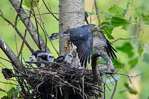 Chinese Sparrowhawk (Accipiter soloensis) flying from its nest with three chicks, Guangshui, Hubei province, China, July.  -  Staffan Widstrand / Wild Wonders of China