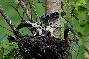 Chinese Sparrowhawk (Accipiter soloensis) chicks at the nest with wings spread, Guangshui, Hubei province, China, July.  -  Staffan Widstrand / Wild Wonders of China