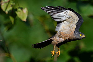 Chinese Sparrowhawk (Accipiter soloensis) flying Guangshui, Hubei province, China, July.  -  Staffan Widstrand / Wild Wonders of China