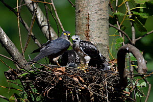 Chinese Sparrowhawk (Accipiter soloensis) at its nest with chick, Guangshui, Hubei province, China, July.  -  Staffan Widstrand / Wild Wonders of China