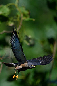 Chinese Sparrowhawk (Accipiter soloensis) taking off, Guangshui, Hubei province, China, July.  -  Staffan Widstrand / Wild Wonders of China